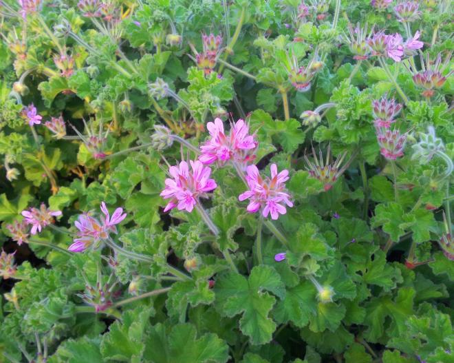 1 pelargonium capitatum rose scented pelargonium cape town