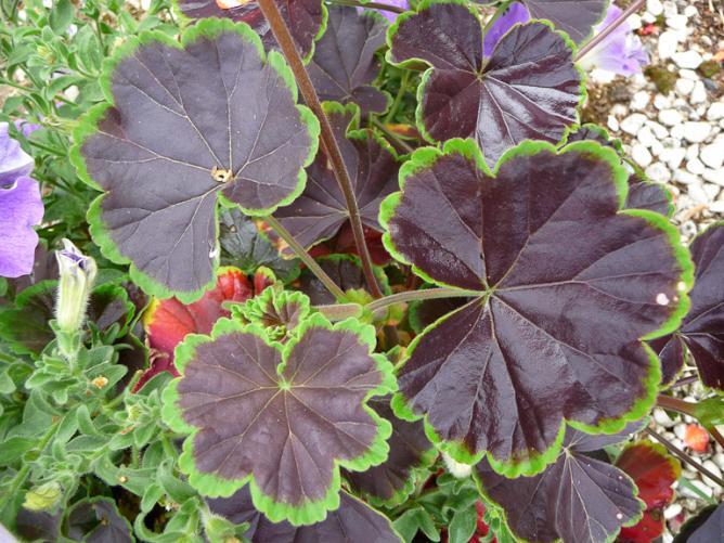 12082011-p1340601geranium-black-velvet.jpg