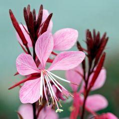 120px-gaura-gambit-pink-photo-file-552kb.jpg