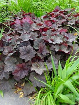 300 heuchera montrose ruby5
