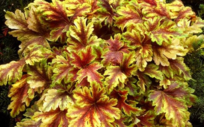 3524 golden zebra heuchera