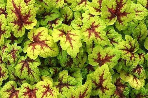 8944 heuchera stoplight