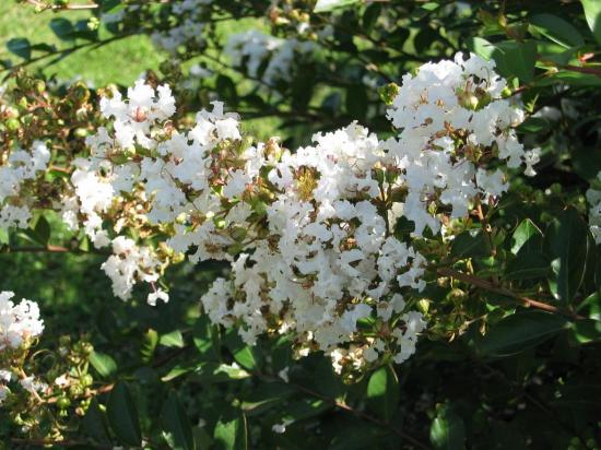 9046-lagerstroemia-indica-petit-canaille-blanc.jpg