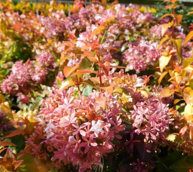 Abelia peach perfection