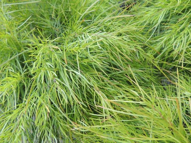 Acacia cognata limelight 1