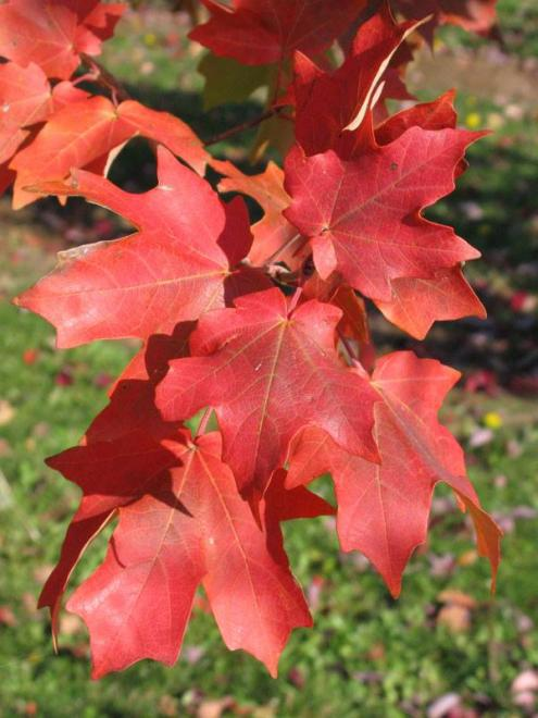 Acer grandidentatum jfs numex 3 mesa glow maple 1 photo j