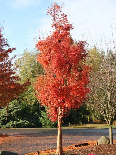 Acer griseum fireburst