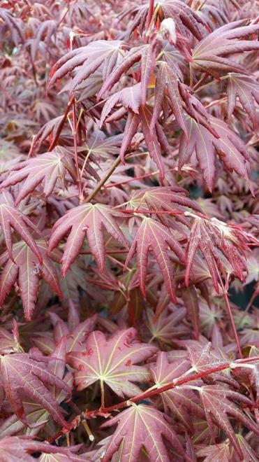 Acer palmatum brown sugar 1