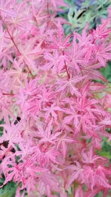 Acer palmatum butterscotch 2