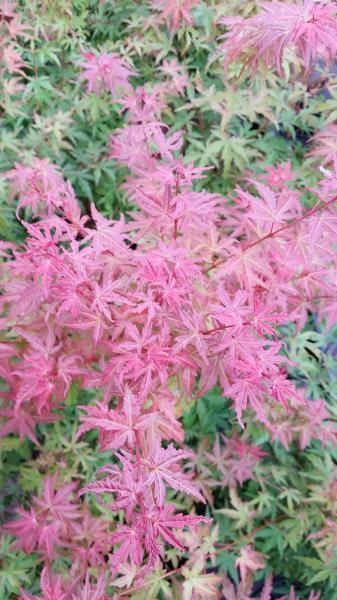 Acer palmatum butterscotch