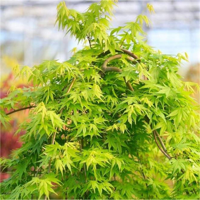 Acer palmatum cascade gold 2