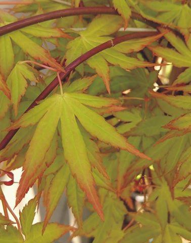 Acer palmatum cascade gold