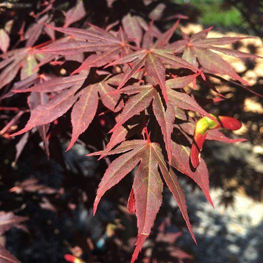Acer palmatum dragon tears