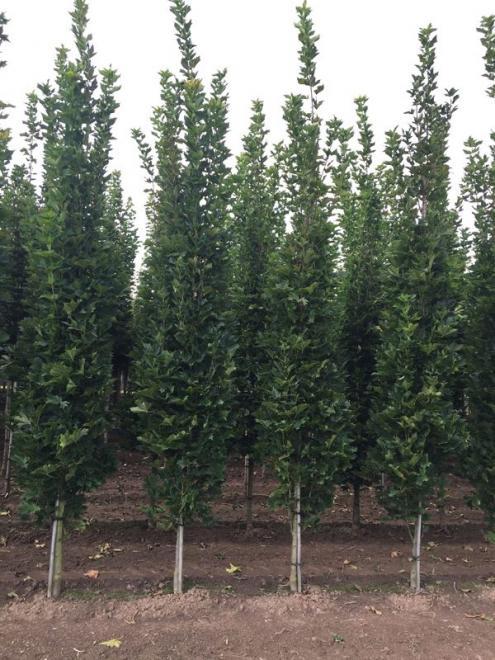 Acer platanoides mauritz
