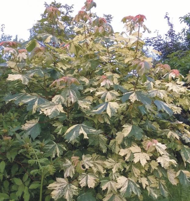 Acer pseudoplatanus hermitage 2