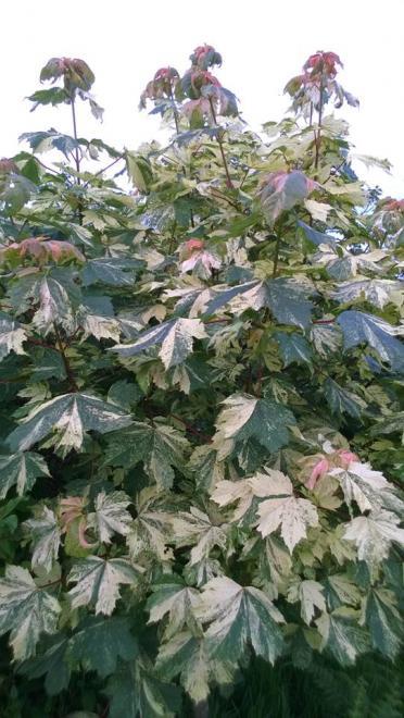 Acer pseudoplatanus hermitage