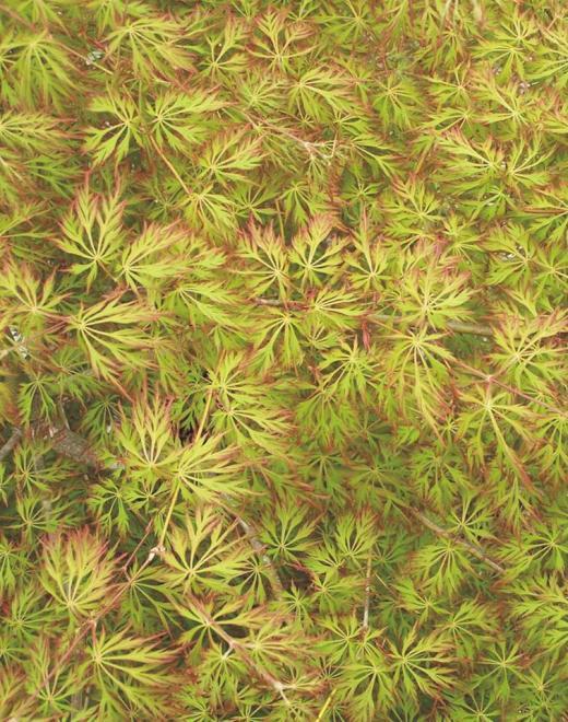 Acer x pseudosieboldianum ice dragon
