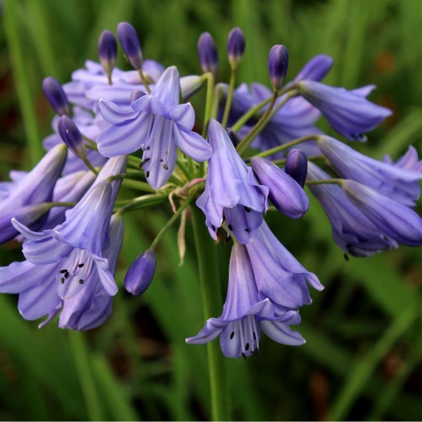 Agapanthe gails purple