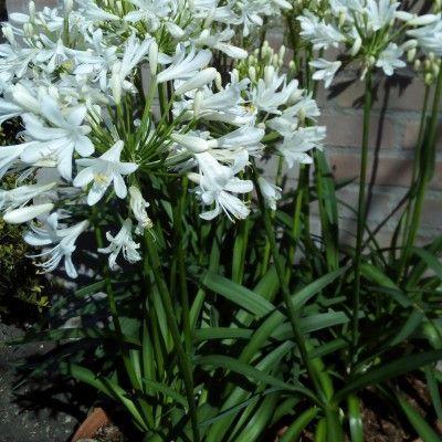 Agapanthe little dutch white3