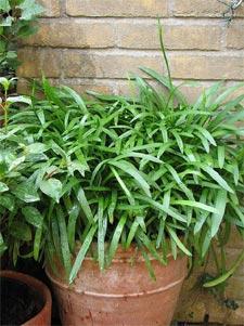 Agapanthe pot
