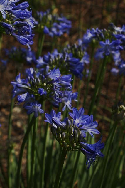 Agapanthe prolific blue