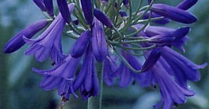 Agapanthe purple cloud