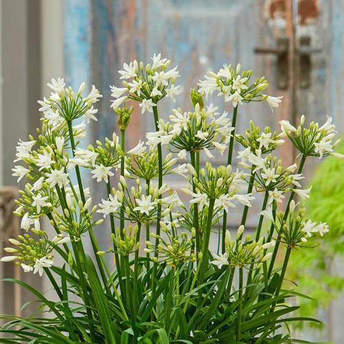 Agapanthe summer love white