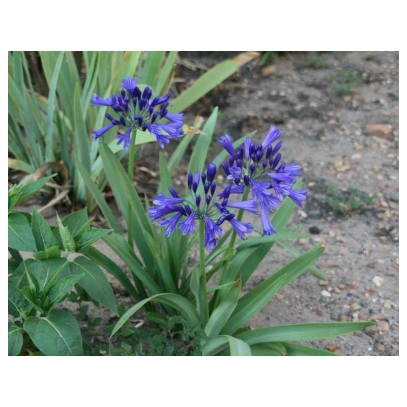 Agapanthe vallee bleue