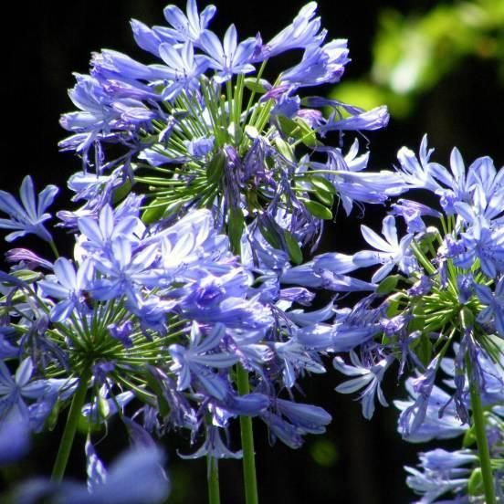 Agapanthe x lapis lazuli