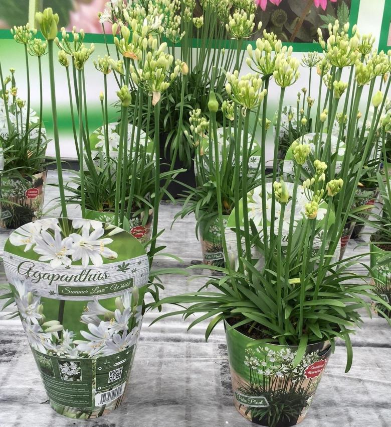 Agapanthus african summer love white photo green works 1