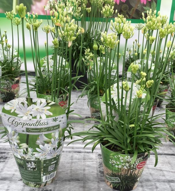 Agapanthus african summer love white photo green works