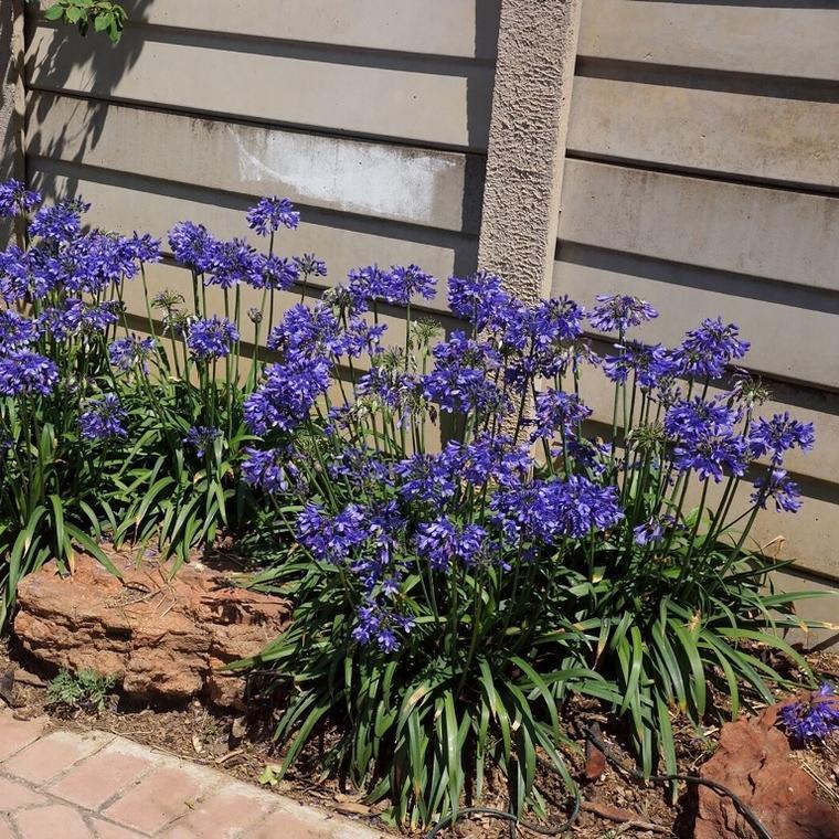 Agapanthus bingo blue