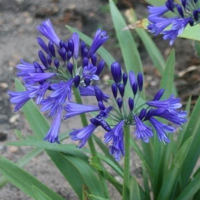Agapanthus bleu de chine9