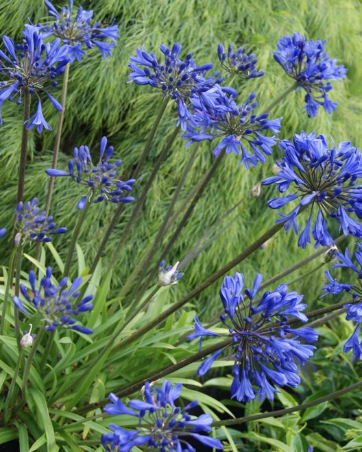 Agapanthus blue fountain photo southern living plant collection