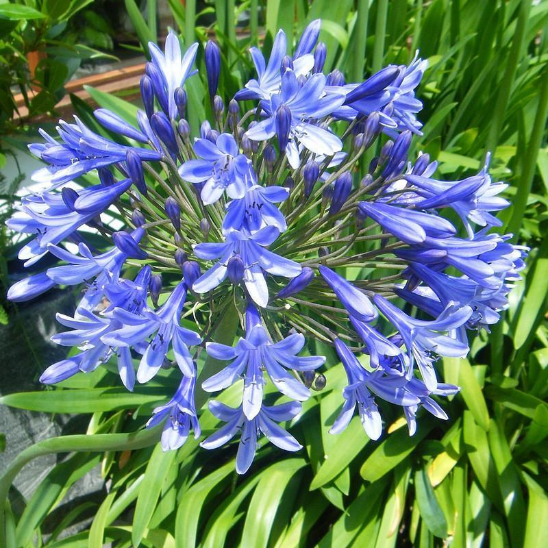 Agapanthus blue triumphator 3 agapanthe bleu ciel fleur