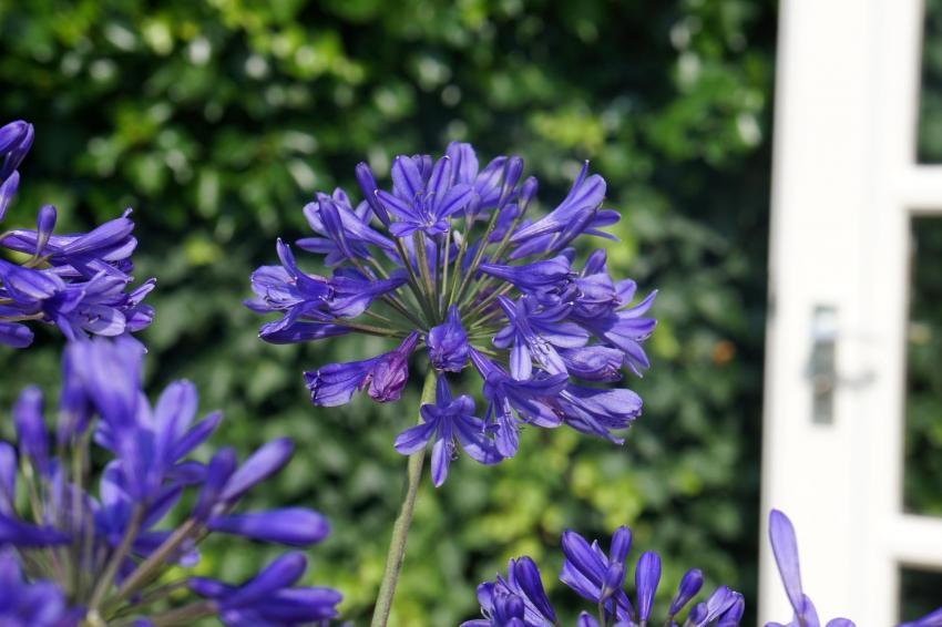 Agapanthus brilliant blue271611copie