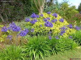 Agapanthus cobalt blue