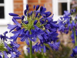 Agapanthus flower of love photo fairweather s nursery 300x225 1