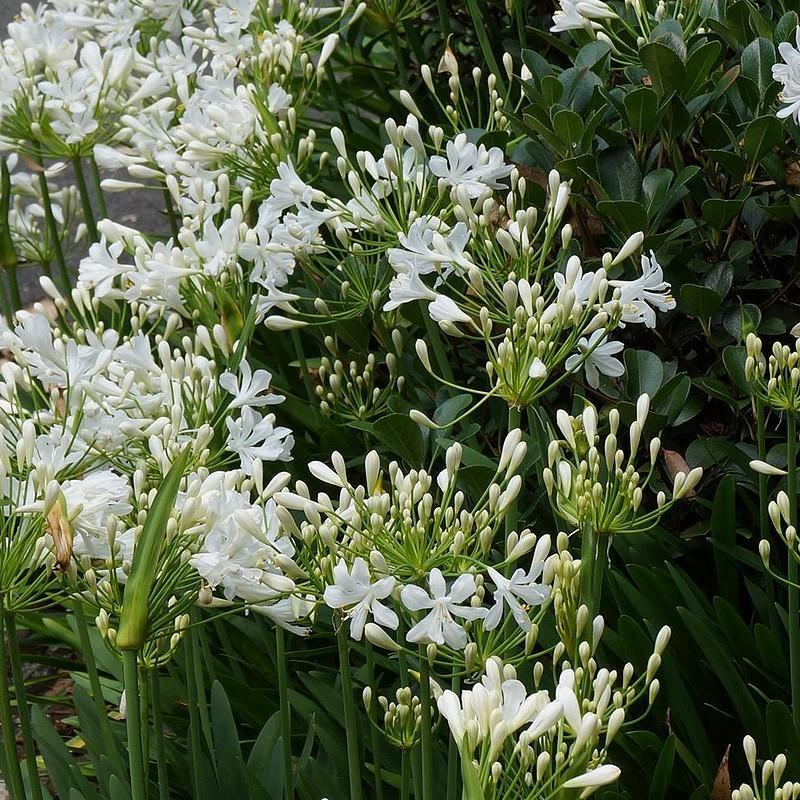 Agapanthus getty white agapanthe blanche compacte fleurs