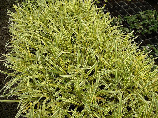 Agapanthus golden drops 003