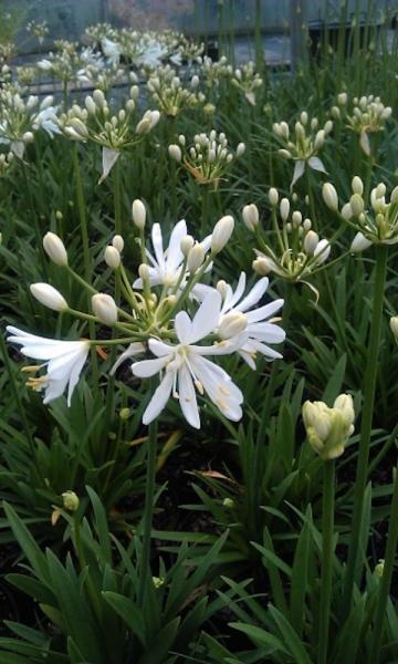 Agapanthus kilmurry white041501 collection globe planter