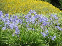 Agapanthus nana blue