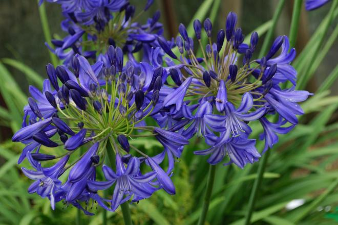 Agapanthus northern star photo fairweather s