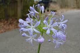 Agapanthus pacific sunset