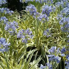 Agapanthus queen of the nile