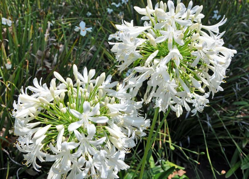 Agapanthus ramcho white