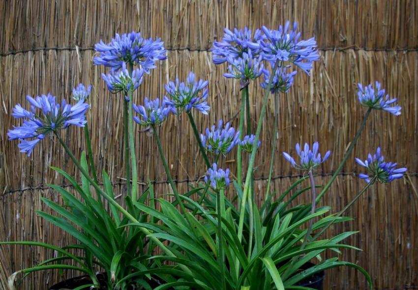 Agapanthus scrarey09 pitchoune blue