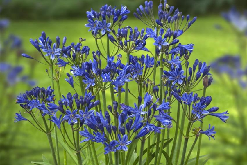 Agapanthus summer love blue