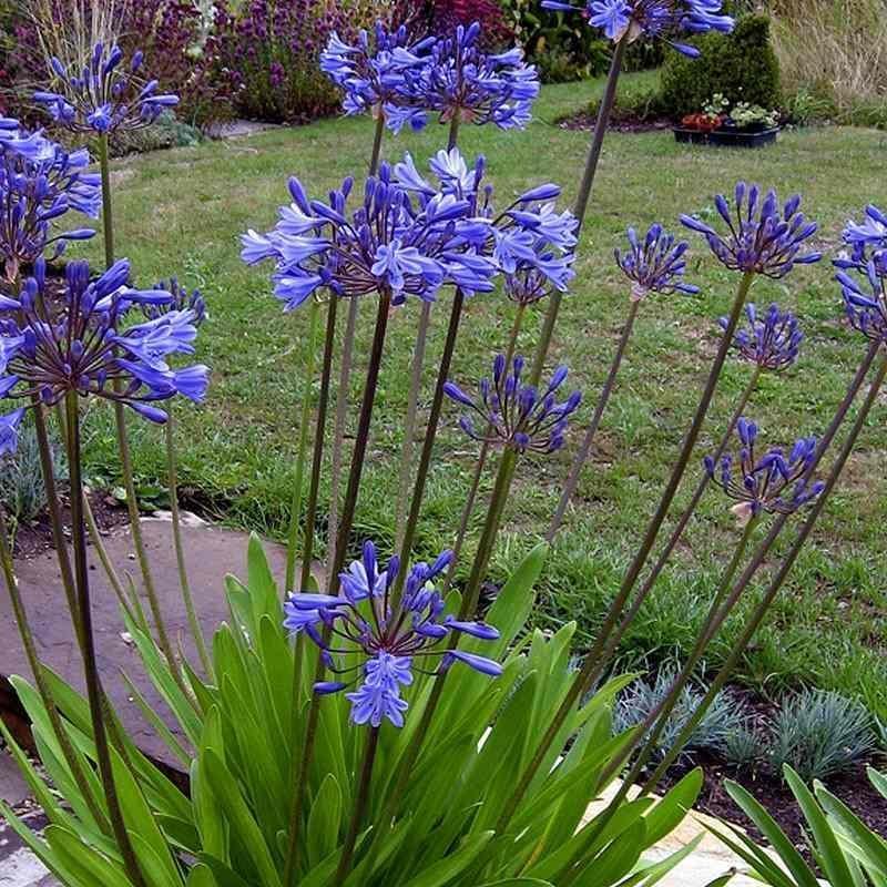 Agapanthus tornado agapanthe bleue violine compacte