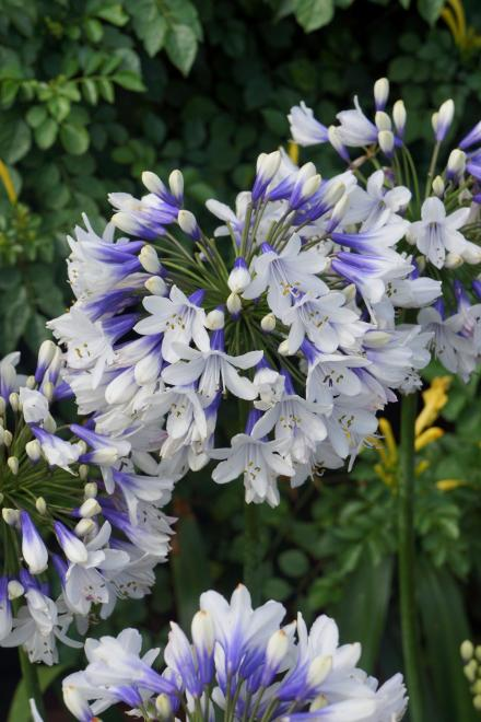 Agapanthus twister photo fairweathers nursery
